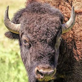 American Bison Portrait by Jennie Marie Schell