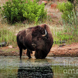 American Bull Bison Creekside by Robert Frederick