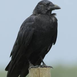 American Crow on a Post by Bradford Martin