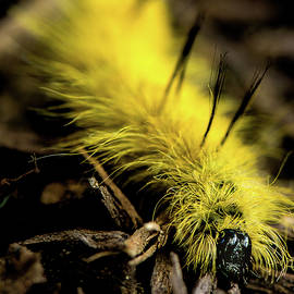 Onyonet  Photo Studios - American Dagger Moth Caterpillar