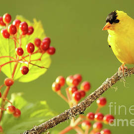 American Goldfinch Among Red Berries by Max Allen