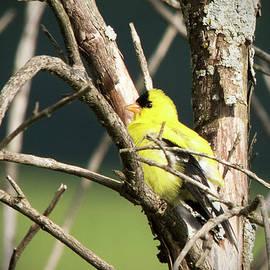 Jayne Gohr - American Goldfinch