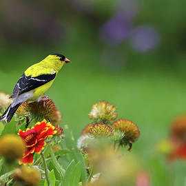 American Goldfinch by Juergen Roth