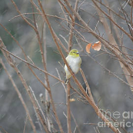 American Goldfinch Thinking  by Ruth Housley