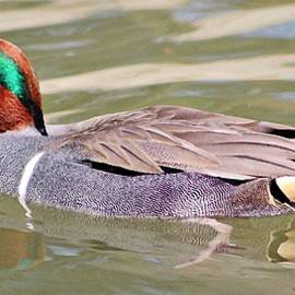 American Green Winged Teal