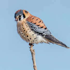 American Kestrel Perched by Morris Finkelstein
