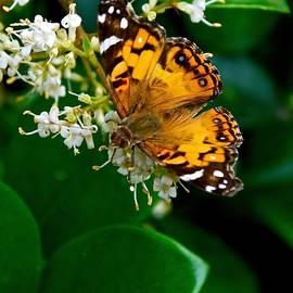 M E Wood - American Lady Butterfly