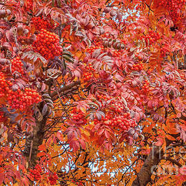 Sue Smith - American Mountain Ash in Autumn