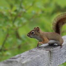 Julien Boutin - American Red Squirrel