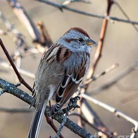 American Tree Sparrow Profile by Barbara McMahon