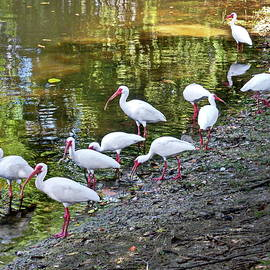 Lyuba Filatova - American White Ibises, Florida