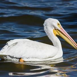 Dawn Currie - American White Pelican