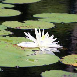 Cynthia Guinn - American White Waterlily
