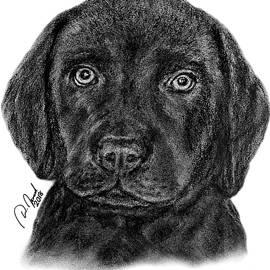 Amicello - Cute Labrador Puppy by Walter Israel