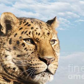 Jane Rix - Amur leopard against blue sky