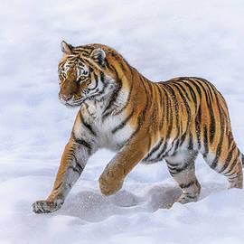 Amur Tiger Running In Snow by Rikk Flohr