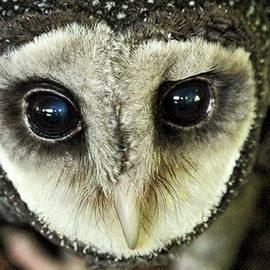 James Crout - An Australian Lesser Sooty Owl
