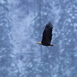 An eagle flying in snowfall by Jeff Swan