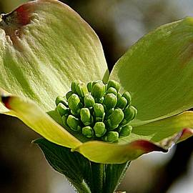 An Early Dogwood Bloom