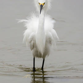 An Egret Displays by Bruce Frye