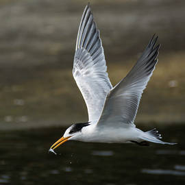 Bruce Frye - An Elegant Tern with a Fish