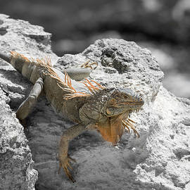 An Iguana's Filtered Reality  by Carol Lloyd