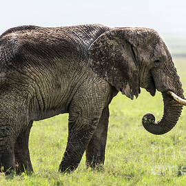 An old elephant eating grass in the Ngorongoro crater by RicardMN Photography