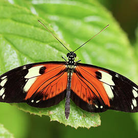 An Orange and Black Rain Forest Butterfly  by Derrick Neill
