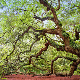 Ancient Angel Oak Tree  by Sharon McConnell