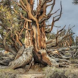 Ancient Bristlecone Pine by Jane Linders