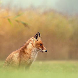 And Then I See a Darkness - Red Fox in the Rain - Roeselien Raimond