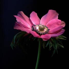 Anemone 2 by Camelia C