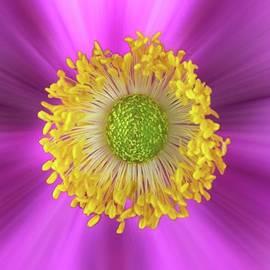 Anemone Hupehensis 'hadspen