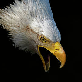Angry Bald Eagle Portrait by Lowell Monke