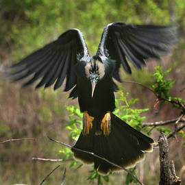 Anhinga Landing by Jerry Griffin