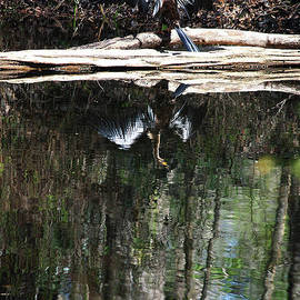 Carol Groenen - Anhinga Reflection