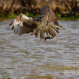 CJ Park - Animal - Bird - Osprey Flying Off With a Fish