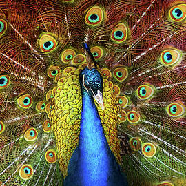 Mike Savad - Animal - Bird - Peacock proud