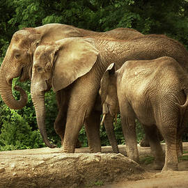 Animal - Elephant - Tight knit family by Mike Savad
