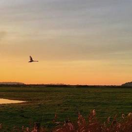 Another Iphone Shot Of The Swan Flying