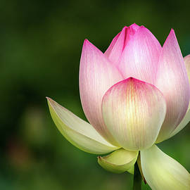 Another Lotus by Don Johnson