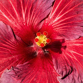 Don Johnson - Another Red Hibiscus