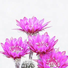 Antimatter  cactus flower quartet by Ruth Jolly