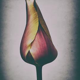 Antique Tulip by Randy J Heath