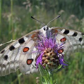 Apollo Butterfly - Parnassius Apollo 2 by Alexey Kljatov