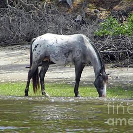 Appaloosa Stallion by D Hackett