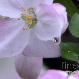 Luv Photography - Apple Flower