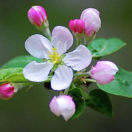 Apple Tree Blossoms by Dirk Fecho