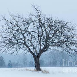 Alan L Graham - Apple Tree In Snowfall