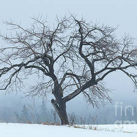 Apple Tree In Winter Fog by Alan L Graham